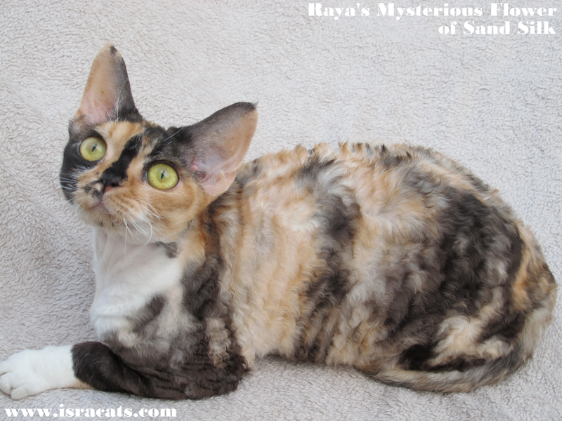 Raya's Mysterious Flower of sand Silk .Female.Devon Rex. Tortie with white (calico)
