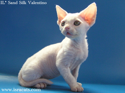 Valentino Sand Silk Devon Rex Male,More pictures