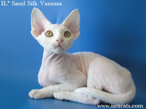 Vanessa Sand Silk Devon Rex Female Kitten