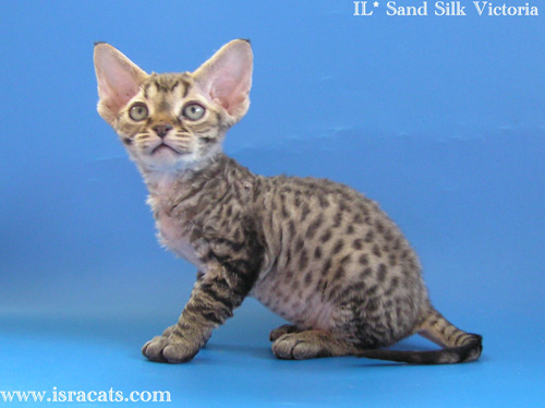 Victoria Sand Silk Devon Rex Kitten,More pictures