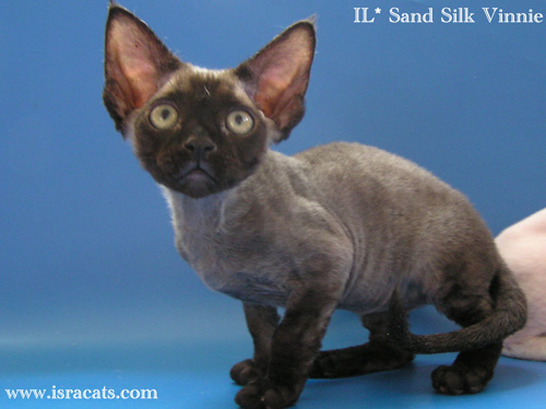 Vinnie Sand Silk Devon Rex Male,More pictures